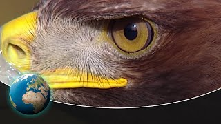 The Golden Eagle  King of the air with razorsharp claws