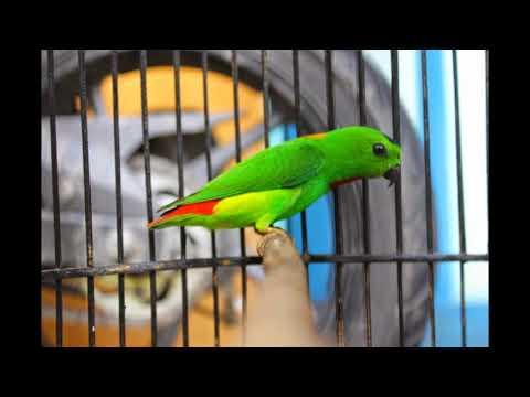 SERINDIT MELAYU Nyrecet Sangat Cocok Buat isian TERBUKTI  HANYA 5 MENIT Burung Anda Langsung Gacor
