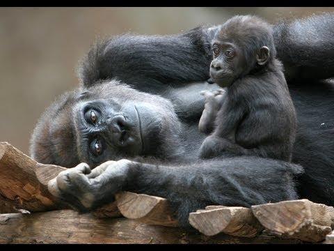 HD: Gorilla for Children - Monkey