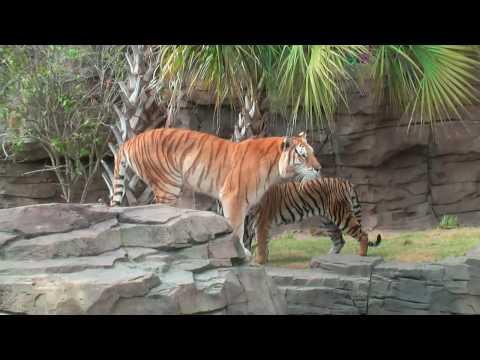 Nick Wize - Busch Gardens 13 Year Old Bengal Tiger Bala Passes Away