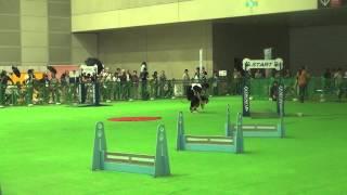 2014年SippoFestaオープンハイスピード優勝犬 オーストラリアンシェパー...