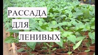 РАССАДА ДЛЯ ЛЕНИВЫХ. Выращивание ПЕРЦА БЕЗ ПИКИРОВКИ.