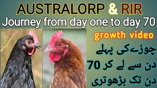 Australorp And RIR Chicks Grow From The First Day To 70 Days | The Process Of Raising Chickens