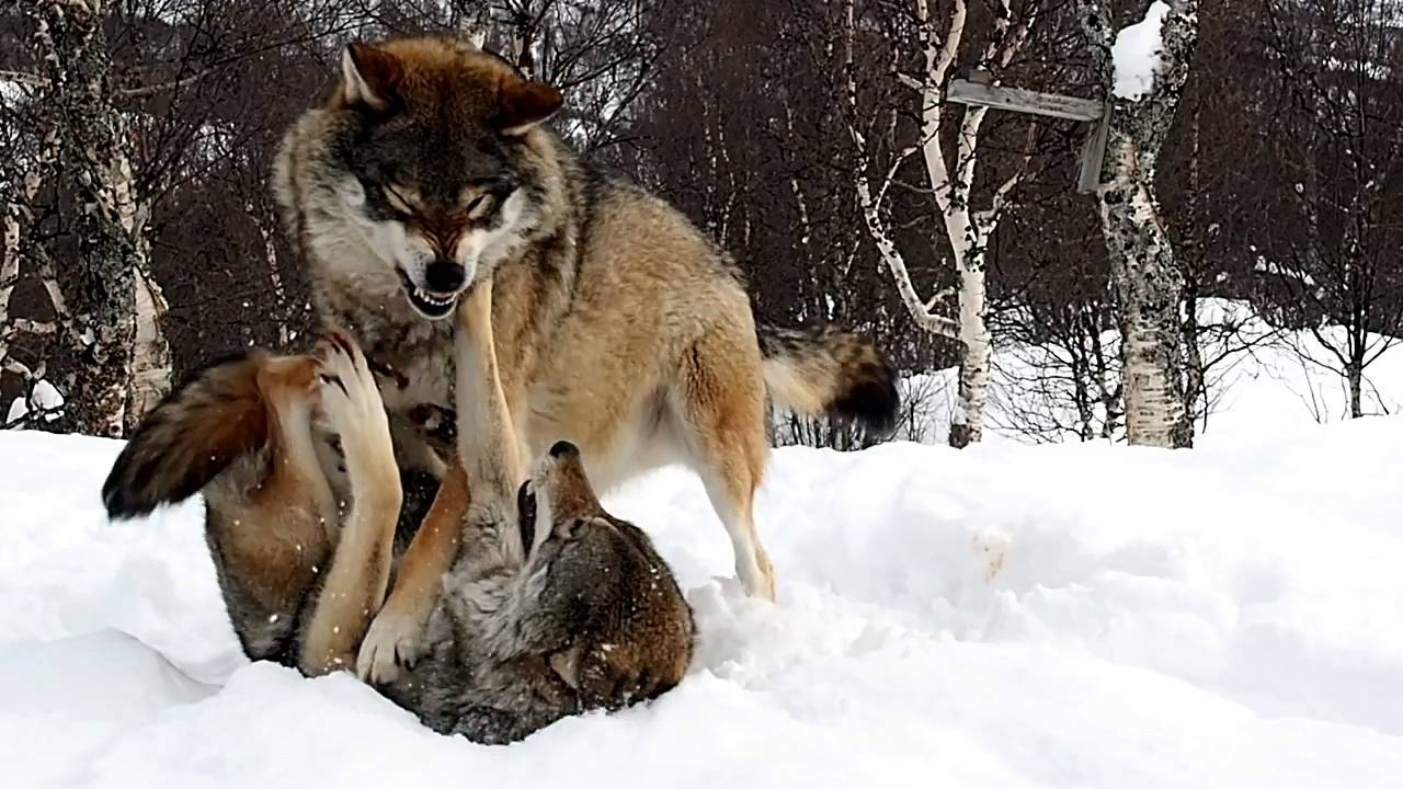 Play As A Wolf