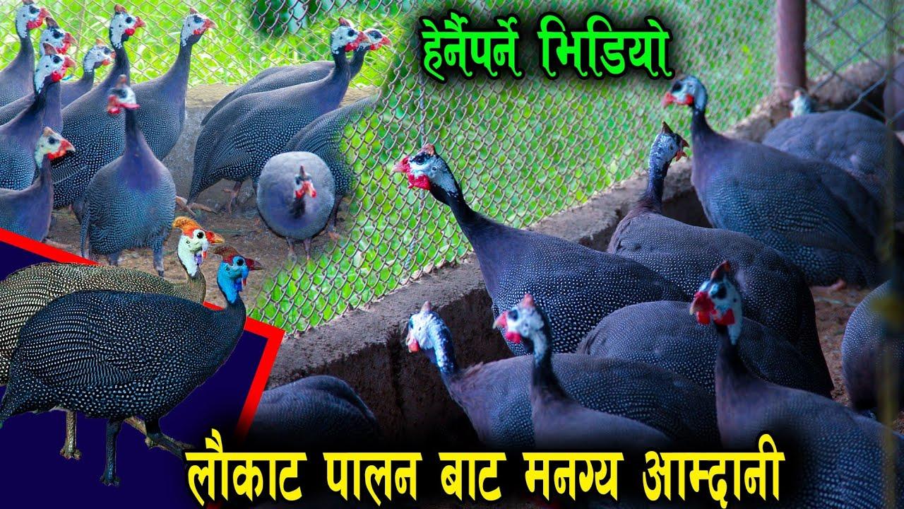 लौकाट पालन कसरी गर्ने? सम्पुर्ण जानाकारी सहित || laukat Birds || News Nepal