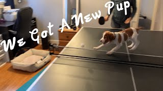 Meet Our New Pup Rooney! (Brittany Spaniel)