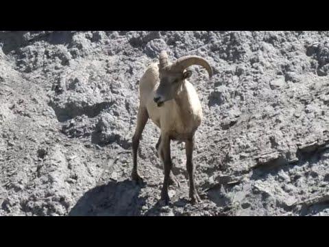 Bighorn sheep ram running down side of mountain in Yellowstone