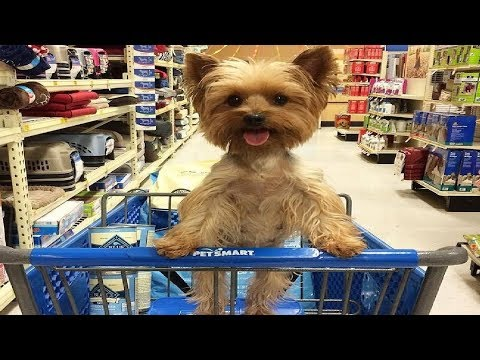 Best Of Cute Yorkie Puppies #3 - Funny Puppy Videos 2018