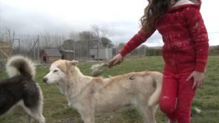 Siberian Husky Breeders Ireland