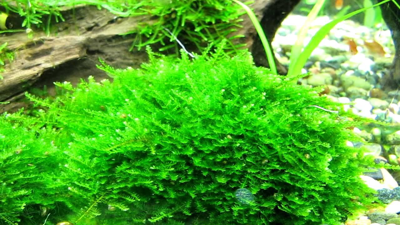 Christmas Moss Carpet.Christmas Moss Caresheet Aquatic Mag
