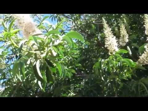 California Buckeye - Aesculus californica