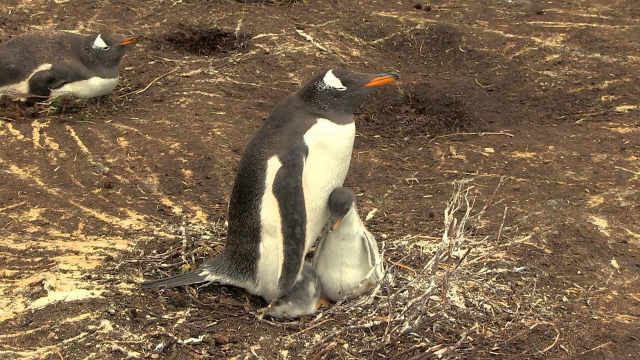 Penguinchik 60
