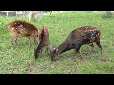 Visayan Spotted Deer, Newquay Zoo (9th October 2017)