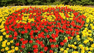 red and yellow tulips on campus