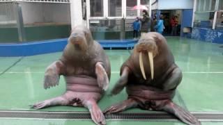 Video Walruses dance on PPAP download MP3, 3GP, MP4, WEBM, AVI, FLV Januari 2018