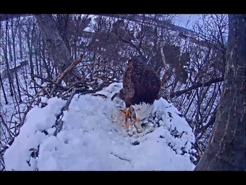 Hanover PA Eagle Cam ~Female Intruder Eats Liberty's Eggs - DISCLAIMER Graphic 3.22.18