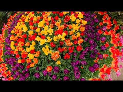 Travel to United States: Skagit Valley Tulip Fields,  Washington, USA