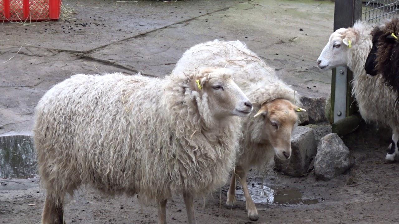 Schafe Youtube