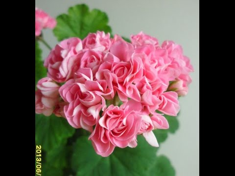 Pelargonium Swanland Pink Rosebud 2
