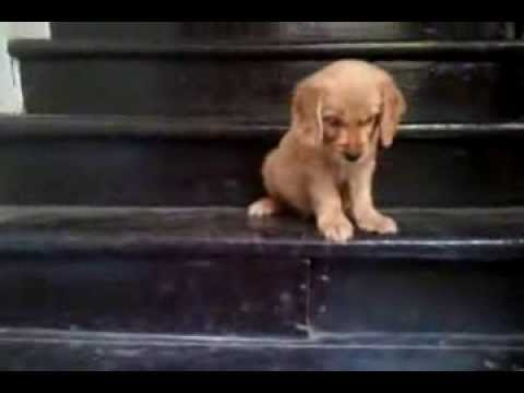 Cocker Spaniel puppy learns to walk downstairs
