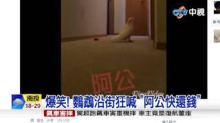 """【中視新聞】 爆笑! 鸚鵡沿街狂喊 """"阿公快還錢"""" 20150315"""