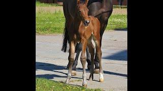 Quadriga : Premium colt 2016 by Jazzman/Romanov Blue Horse/Diamond Hit(, 2016-06-23T15:19:15.000Z)