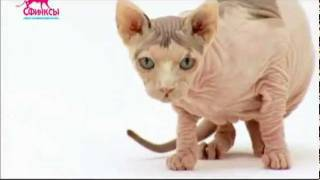 Фильм о кошках породы сфинкс (Sfinks-DVD.ru)