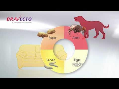 Bravecto- Hiệu quả tiêu diệt bọ chét nhanh chóng