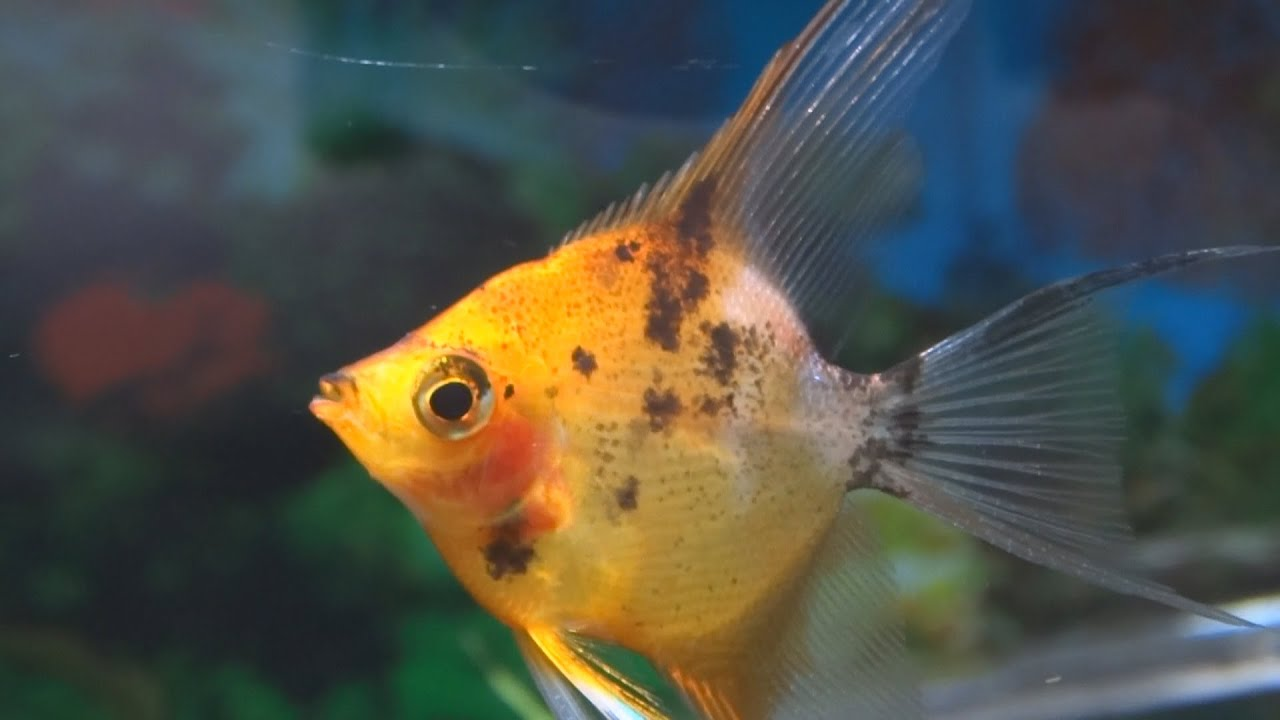 Best Food For Freshwater Angelfish | Aquascape Addiction