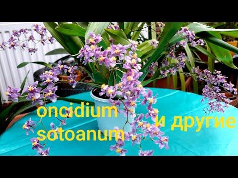Орхидея ОНЦИДИУМ sotoanum и онцидиумные в моей коллекции