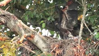 Baby Bald Eagle Practicing Flying