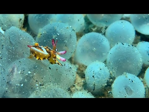 Colourful Baby Cuttlefish Hatch From Eggs