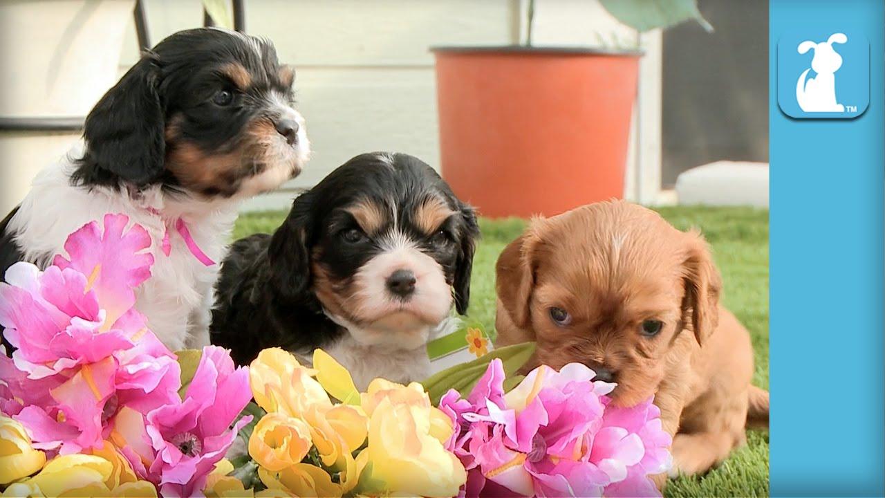 Cavalier Puppies Arrange Flower Bouquet Not Professional Florists