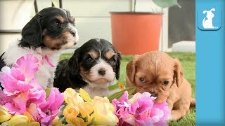 Cavalier Puppies Arrange Flower Bouquet, Not Professional Florists  Puppy Love