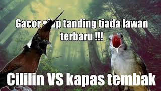 Download cililin vs kapas tembak terbaruu 1 jam full gacor for latihan !!
