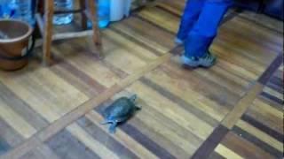 Сексуально озабоченная черепаха