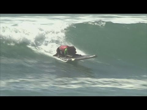 Surfing dogs take to the waves for fierce California contest