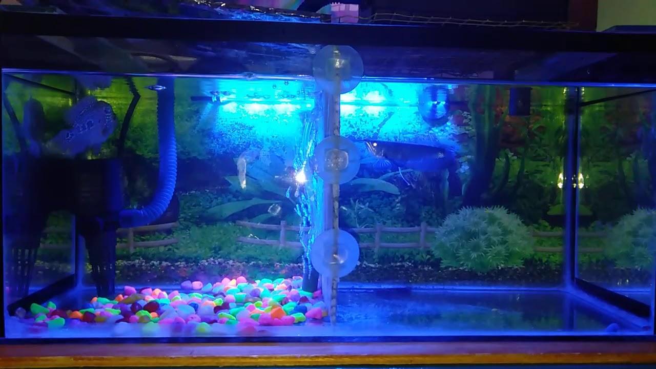 Ikan arwana dan louhan satu aquarium - YouTube