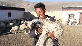 Yak Video | How villagers in China's Tibet rise above poverty