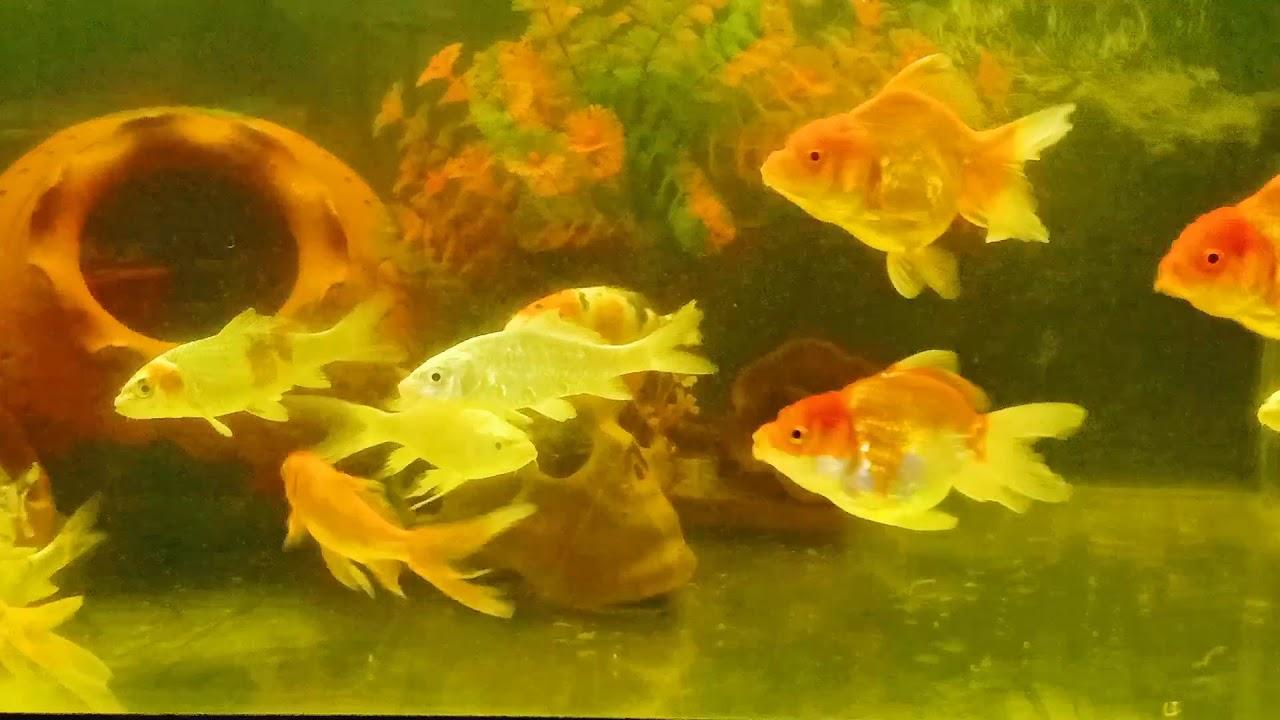 ปลาสวยสวยงามสกลนคร ร้านเพทสไมล์ สามแยกนายอ