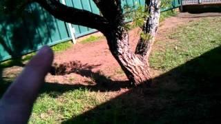 Bc 03463 American Staffordshire Terrier X Kelpie Female Adult 1/2yrs