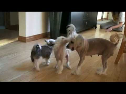 crestars chinese crested puppies 9 wks 16.qt