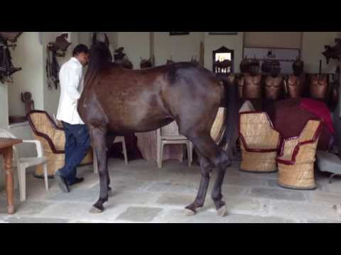 Marwari horse training with Dr. Singh in Narlai Rajasthan
