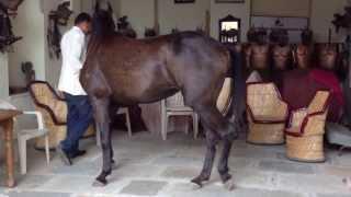 Marwari horse training with Dr Singh in Narlai Rajasthan
