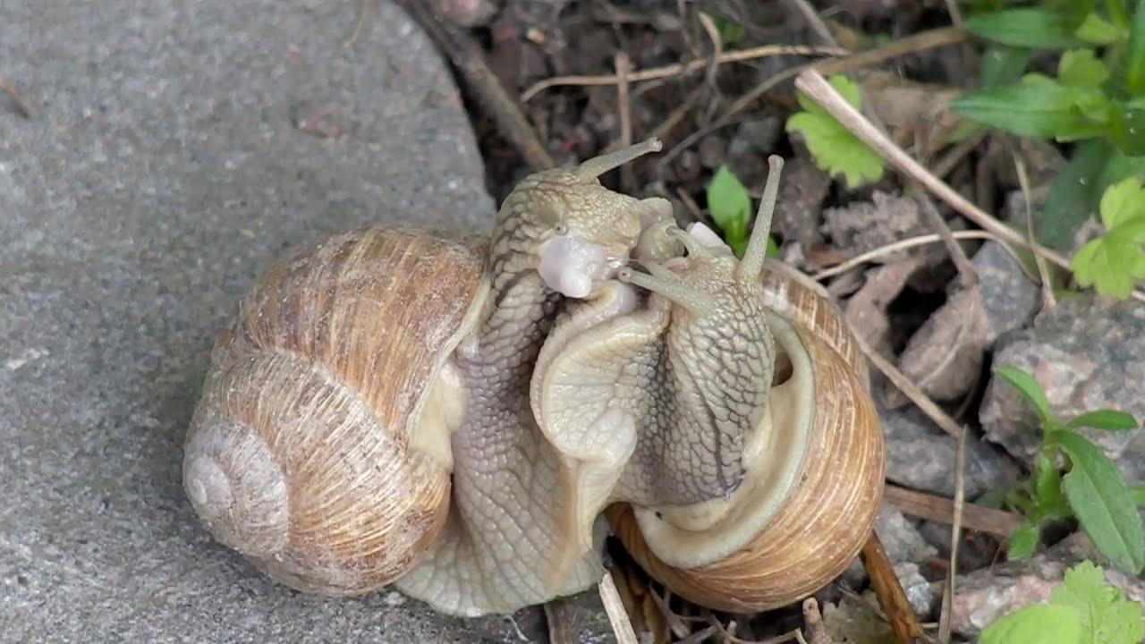 Snail sex - coitus interruptus?