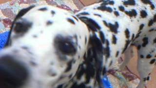 Meet Perdi A Dalmatian Currently Available For Adoption At Petango.com! 1/17/2013 2:24:26 Pm