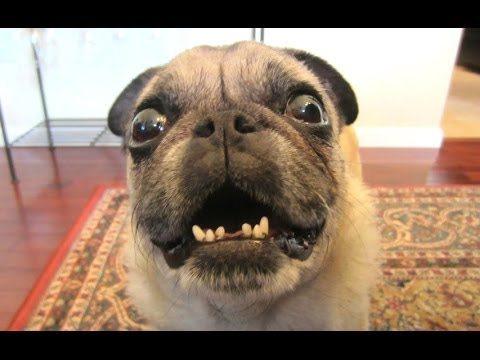 Most Funny Dog Barking Videos Compilation
