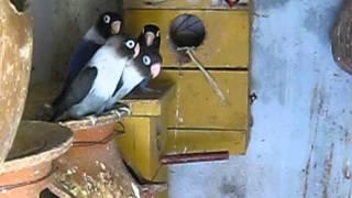 VARIETIES OF MASKED LOVEBIRDS