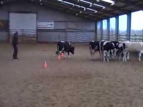 Australian Cattledog training: herding cows