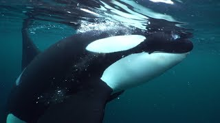 Extreme close-up learning from Killer Whale feeding behaviour